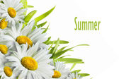 Flores de camomila — Foto Stock