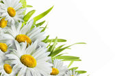 Chamomile flowers — Stockfoto