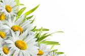 Kamille bloemen — Stockfoto