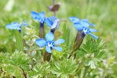 Blue alpine flowers: Gentiana verna — Stock Photo