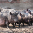 Pigs in shelter — Stock Photo #9996092