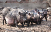 Varkens in een schuilplaats — Stockfoto