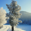 Stock Photo: Winter. Hoarfrost. cedar.