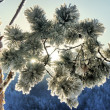 Snow on pine branch — Stock Photo #8193590