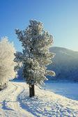 Winter. Hoarfrost. A cedar. — Stock Photo