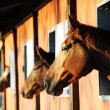 Stock Photo: Horses in their stable