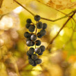 Grape fruits - Stock Photo