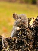 Wild mouse. — Stock Photo