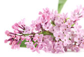 Pink lilac — Stock Photo