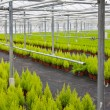 Dutch horticulture with cupressus in a greenhouse — Stock Photo