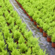 Stock Photo: Dutch horticulture with cupressus in greenhouse