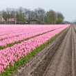 Big field with numerous of red and purple tulips in the Netherla — Stock Photo