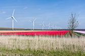 Big Dutch colorful tulip fields with wind turbines — Stock Photo