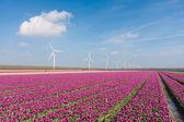 Big Dutch purple tulip field with windturbines — Stock Photo