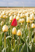 Lonely red flower in yellow tulip field — Stock Photo