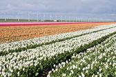 Nederländska fältet färgglada tulpaner med väderkvarnar bakom det — Stockfoto
