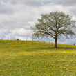 Lonely tree in a field with dandelions — Stock Photo