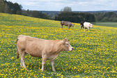 Cows in a field of blooming dandelions — Stock Photo