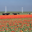 Dutch landscape: a dike with windmills, cows and tulips — Stock Photo