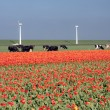 Stock Photo: Dutch landscape: a dike with windmills, cows and tulips