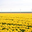Foto de Stock  : Yellow tulips from Netherlands