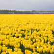 Stock Photo: Enormous yellow field of Dutch tulips