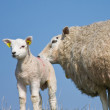 Sheep with her lamb — Stock Photo #8014058