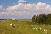 Dike with sheep and windmills in the Netherlands — Stock Photo