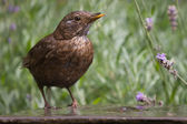 Blackbird drinking water at a fountain in the garden — Stock Photo