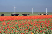 Dutch landscape: a dike with windmills, cows and tulips — Stok fotoğraf