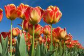Beautiful red tulips facing the sky — Stock Photo