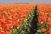 Orange tulips of the Netherlands — Stock Photo