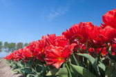 Endless row of red tulips up to the horizon — Stock Photo