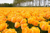 Beautiful yellow tulips — Stock Photo