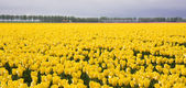 Enormous yellow field of Dutch tulips — Stock Photo