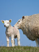 Sheep with her lamb — Stock Photo