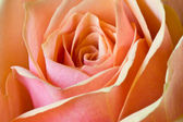 Detail of a beautiful rose — Stock Photo