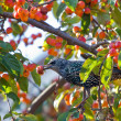 Stock Photo: Spotted starling eating fruits in apple tree
