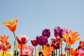 Lovely multicolored tulips against a blue sky — Stock fotografie