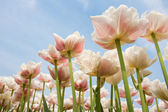 White and red speckled tulips in front of a light cloudy blue sk — Stock Photo