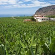 Stock Photo: Enormous bananplantation at LPalma