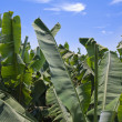 Enormous leaves of banana plantation at La Palma — Stock Photo #8384744