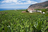 Enormous banana plantation at La Palma — Stock Photo
