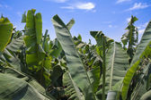 Enormous leaves of banana plantation at La Palma — Foto Stock