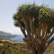 Coast of La Palma  with a characteristic dragon tree — Stock Photo