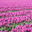 Big field with millions of purple tulips in the Netherlands - Stock Photo