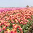 Big field with numerous of red and purple tulips in the Netherla - Stock Photo