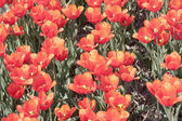 Field of colorful red tulips seen from above — Stock Photo