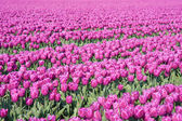 Big field with millions of purple tulips in the Netherlands — Stock Photo