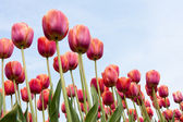 Beautiful red tulips against a blue sky — Stockfoto